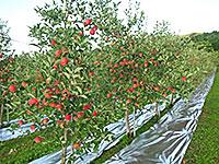 山中果樹園2013年9月11日-最近の様子