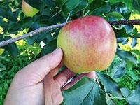 山中果樹園2013年9月11日-オーナーさんの木